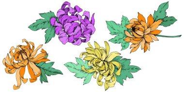 Vector Chrysanthemum floral botanical flowers. Engraved ink art. Isolated flower illustration element.
