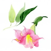 Pink Brugmansia virágos botanikai virágok. Akvarell háttér meg. Elszigetelt Brugmansia illusztráció elem.