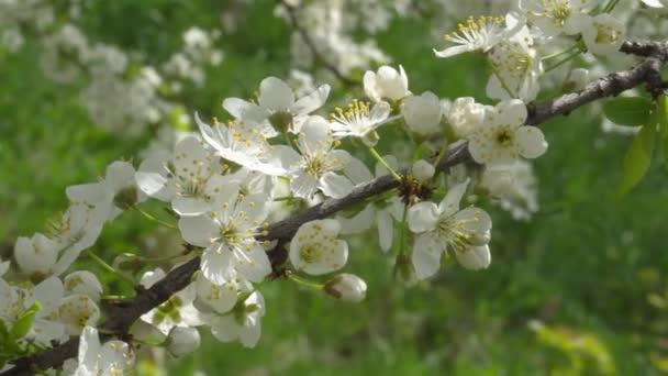 Cerisiers En Fleurs Au Mois D Avril Branches De Cerisier Dans Le
