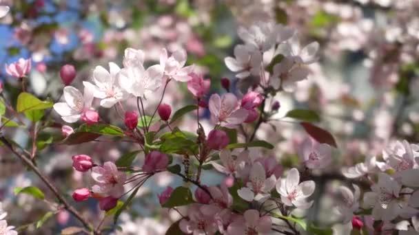 Růžové květy na větvích třešeň na jaře