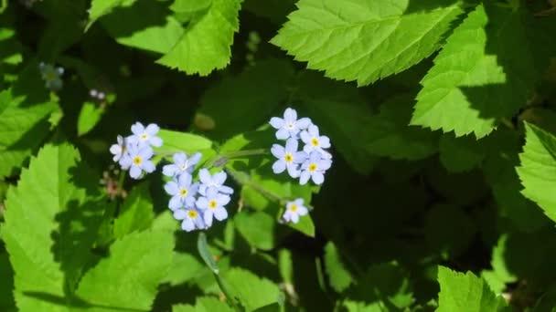 Brunner Jarní květina nebo zapomenout me v zahradě