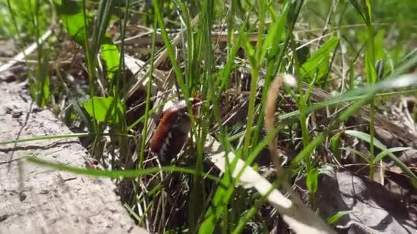 Maikäfer auf Gras im Garten