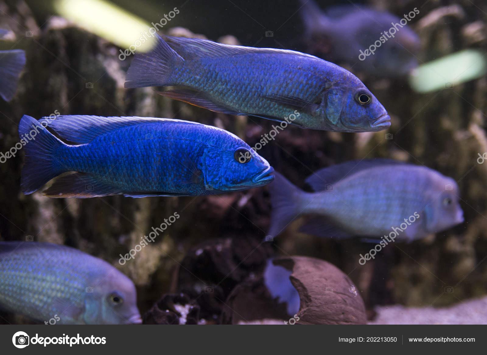 Pielęgnic Z Malawi Ryby Z Rodzaju Cynotilapia W Akwarium Zdjęcie