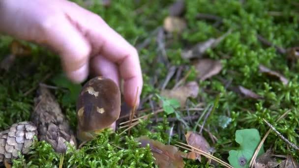 Gyűjteménye ehető gomba az erdőben, a moha aspen