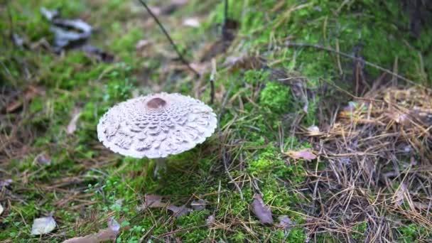 Gomba esernyő vág az őszi erdőben a gomba