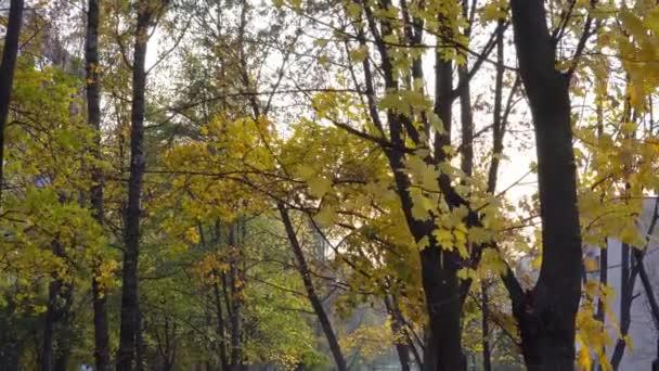 Javor s žluté listí v podzimním parku