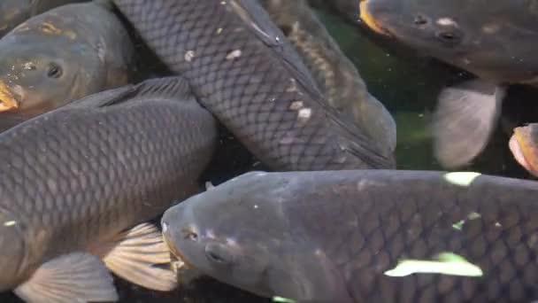 Kapři na povrchu vody v akvarijních obchodech