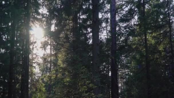 Večerní slunce se rozbije mezi stromy v lese