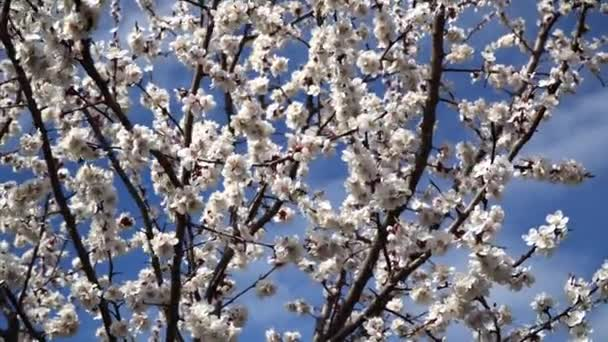 Peach blossom in April against the blue sky