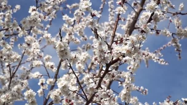 Blooming white cherry blossoms against the blue sky