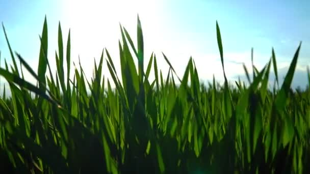 Field of young green wheat at sunset