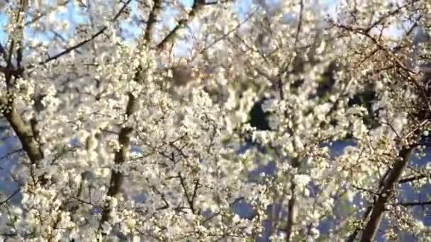 Spring. sunny day. cherry blossom