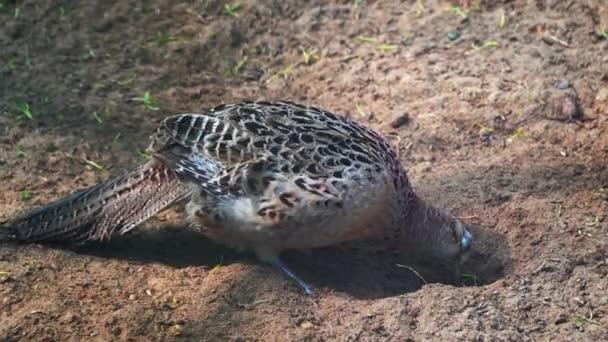 samice tetřeva hlušce zblízka na rezervaci