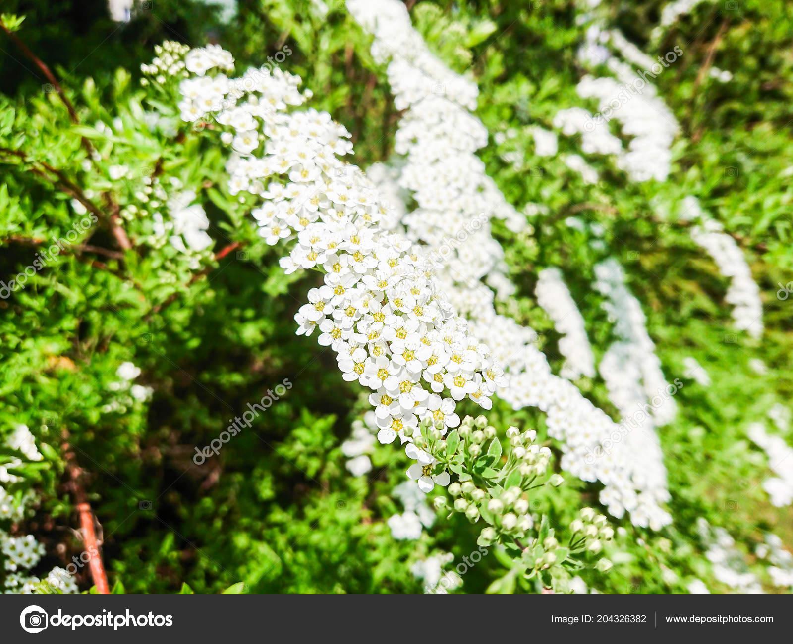 Fiori piccoli bianchi foglie verdi sul cespuglio foto for Fiori verdi