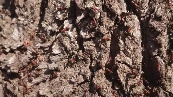 Forest ants crawling on the trunk of an old tree.