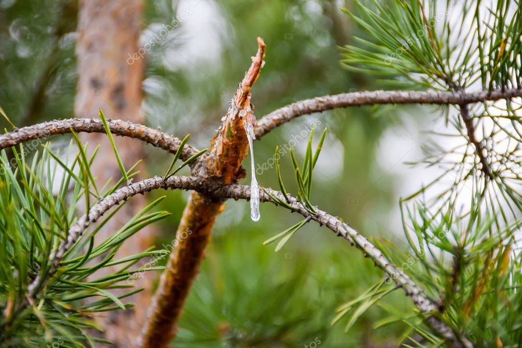 A drop of resin flows out of a broken pine branch.