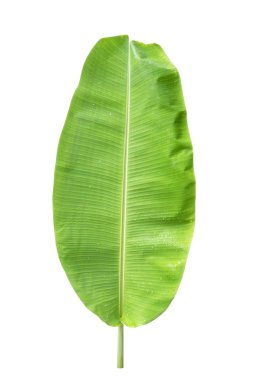 green banana leaf , green tropical foliage texture isolated on white background of file with Clipping Path .