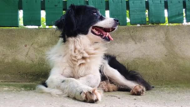 Streslejný starý pes, který ležel venku a hleděl stranou zíval. Legrační emoce v zájmovém chovu.