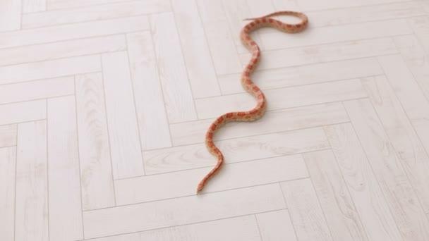 Orange snake slowly slithers around the floor.