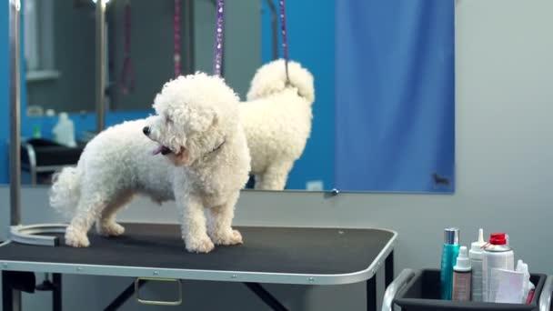 Malý pes Bišonek stojí na stole na veterinární klinice