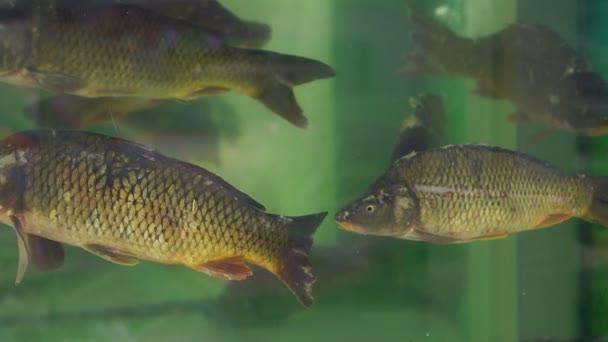Az akvárium a halak piaci nagy ponty.