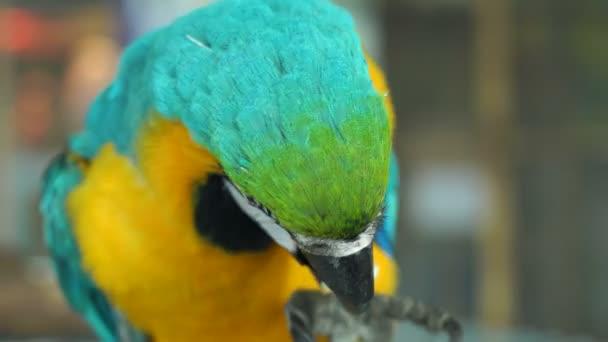 Primo piano di pappagallo di ara mangiare biscotti. Alta risoluzione.