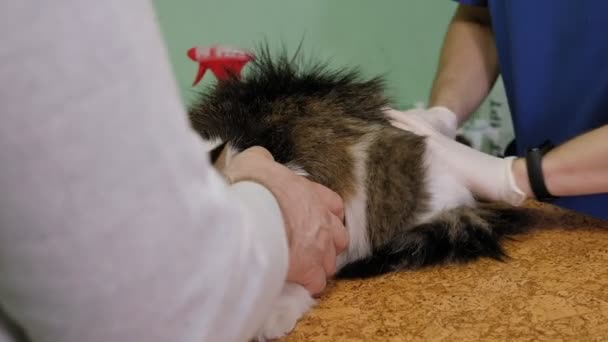 Veterinary doctor treats the cats fur from fleas and lice in veterinary clinic.