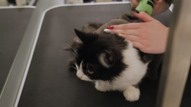 A veterinarian shearing a cat in a pet beauty salon. Grooming animals.