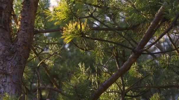 fenyőfa naplementekor a tavaszi erdőben