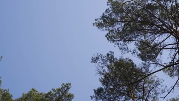 beautiful sky and peaks of trees in a green pine forest