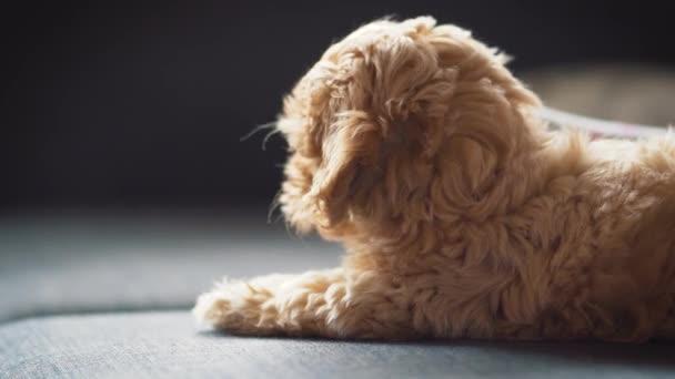 malé roztomilé smetanové štěně na šedém gauči
