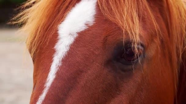 detailní záběr na hlavu krásného hnědého koně