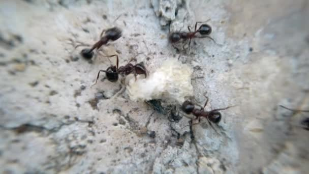 Állati makro vadon felvételek: sok hangyák étkezési kenyér és a rovarok és szállítására élelmiszer