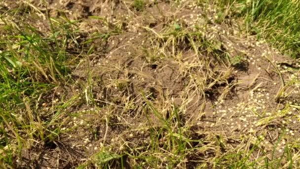 Wild hnědá mravenci hemžení kolem jejich mraveniště. Mraveniště v lese mezi suché listy. Hmyz pracovní emmet pobíhat v blízkosti díru v zemi, makro mraveniště. Mravenec v kopec mraveniště