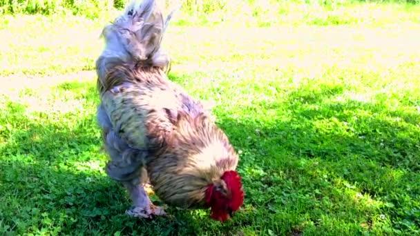 Gallo di uccello in cerca di cibo in erba verde su barnyard rurale tradizionale. Gallo con la cresta rossa, soffici piume bianche, becco giallo di gallo. Gallo di bella coda lunga pollo, gallina gallo animale.
