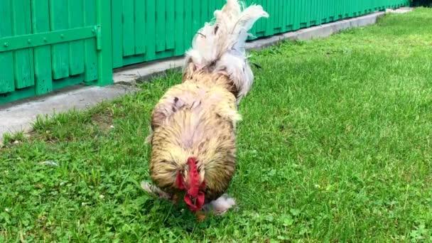 Jídlo v zelené trávě na tradiční venkovské barnyard kohout pták. Kohout s červeným hřeben, bílé nadýchané peří, žlutý zobák a penis. Krásná dlouho sledoval kuřecí kohout, slepice zvířecí penisy