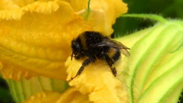 Langsam fliegt die geflügelte Biene zur Pflanze, sammelt Nektar für den Honig aus der Blüte. Honigclip bestehend aus schönen Blüten, gelben Pollen an den Beinen der Bienen. Süßer Nektarhonig.