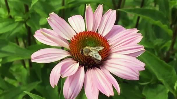 Okřídlená včela pomalu letí k rostlině, sbírá nektar pro med na soukromé včelíně z květu. Medový klip skládající se z krásných květin, žlutého pylu na včelích nohách. Sladký medový nektar včelí med.