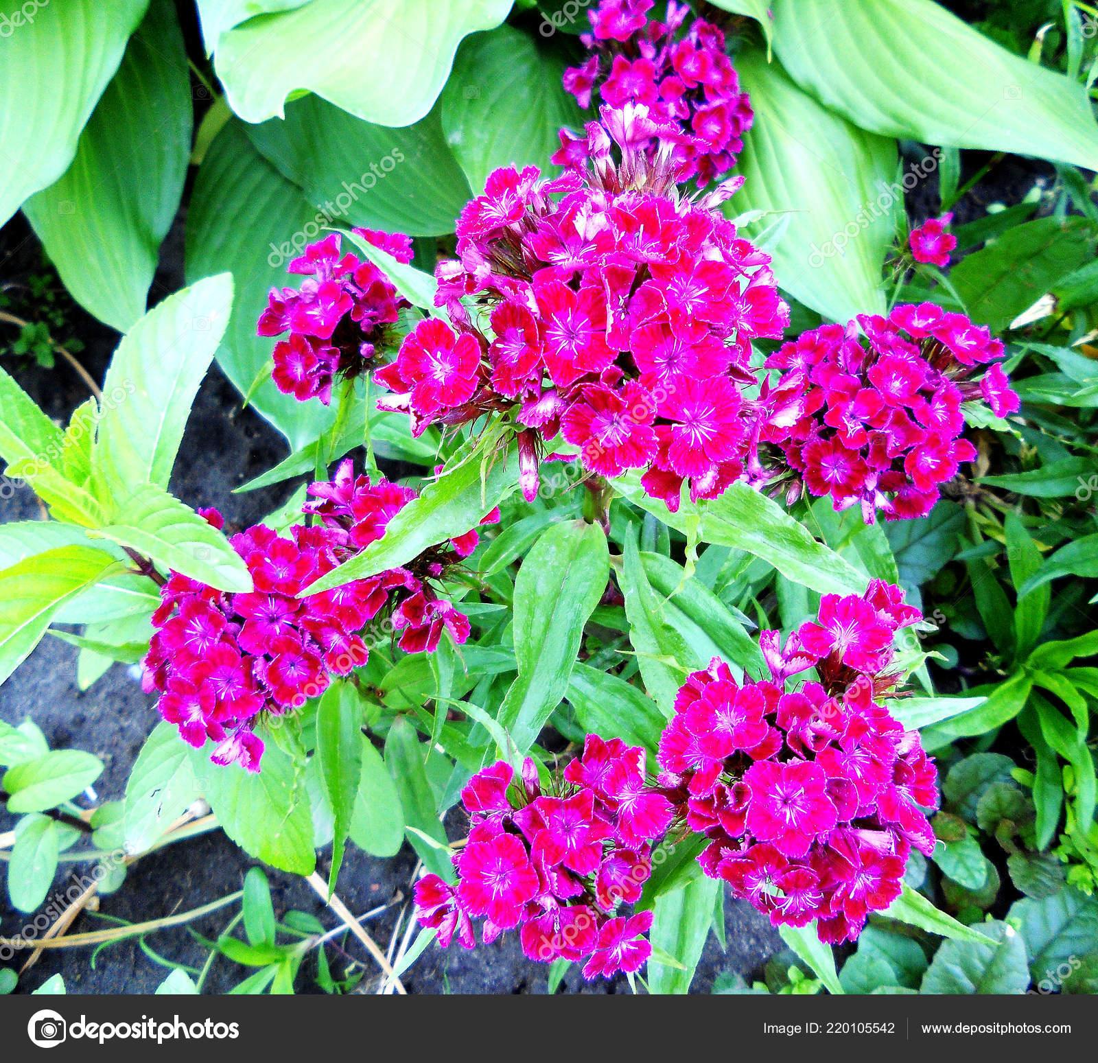 Blume nelke