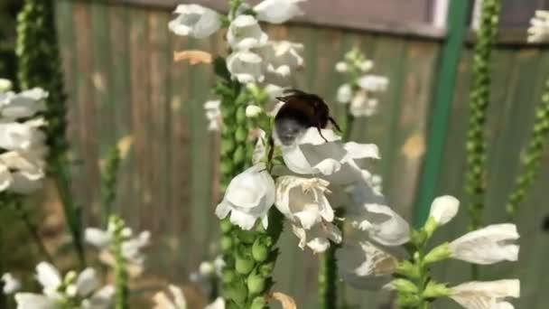 Szárnyas méh lassan repül a növény, a virág saját méhészet a méz gyűjteni nektárt. Méz klip álló, gyönyörű virágok, sárga virágport a méhek lábak. Édes mézes bee honey virág