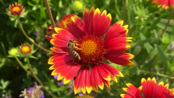 Winged bee slowly flies to the plant, collect nectar for honey on private apiary from flower. Honey clip consisting for beautiful flowers, yellow pollen on bees legs. Sweet flower in honeyed bee honey