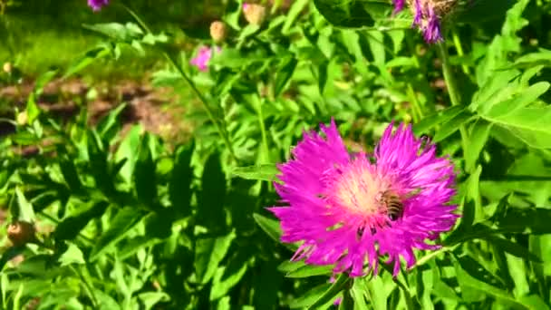 Okřídlená včela pomalu letí k rostlině, sbírá nektar pro med na soukromé včelíně z květu. Medový klip skládající se z krásných květin, žlutého pylu na včelích nohách. Sladký květ v medu včelí med