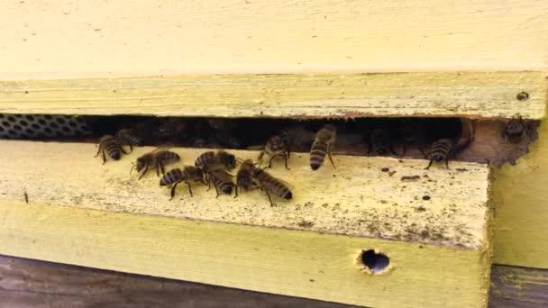 Szárnyas méh lassan repül Beehive gyűjteni nektár a magán méhészet az élő virágok