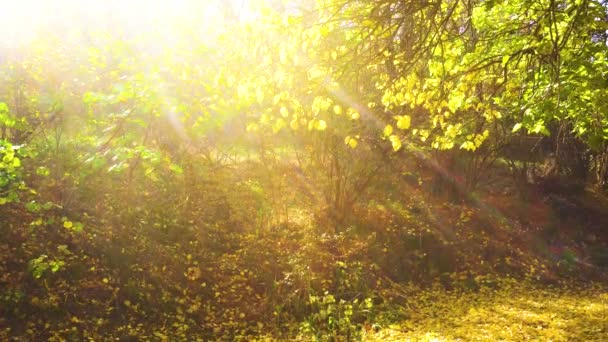 The bright rays of the sun make their way through the crowns of the trees. Yellow leaves fall in the park. Sunny day in the forest