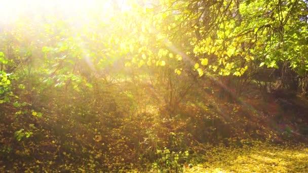 Zářivé paprsky slunce, aby jejich cestu přes koruny stromů. Žluté listy padají v parku. Slunečný den v lese