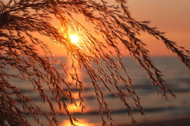grass flower on the beach at summer sunset time