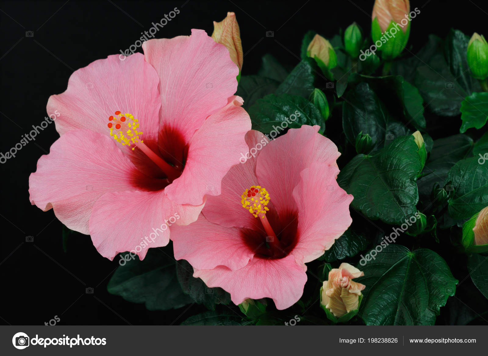 Close rosa sinensis hibiscus flower photography nature stock photo close rosa sinensis hibiscus flower photography nature stock photo izmirmasajfo