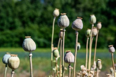 Opium poppy or Papaver somniferum or Breadseed flower buds in local garden on dark green leaves background on sunny day