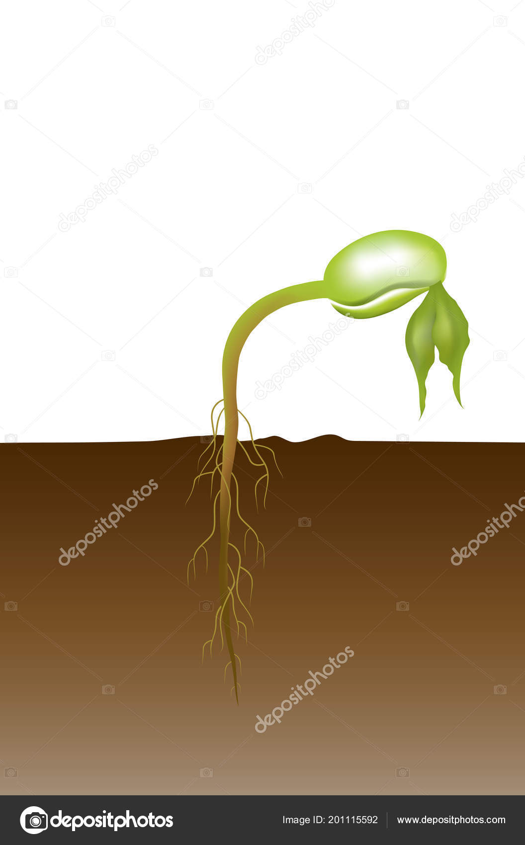Seed Germination Process Which Embryo Develops Seedling Types With Diagram Is A By Into It Involves The Reactivation Of Metabolic Pathways That Lead To Growth