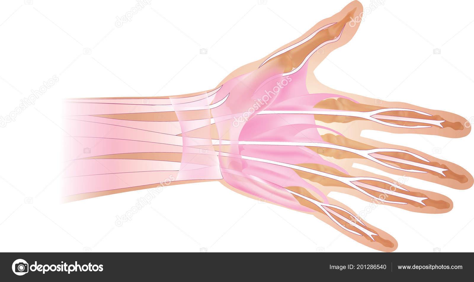Anatomie Der Menschlichen Hand Und Finger Knochen Ansicht Von Oben ...